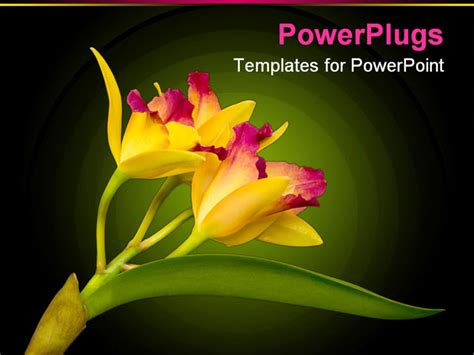 hawaiian powerpoint template yellow cattleya orchid from hawaii powerpoint template