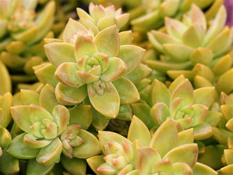 sedum adolphii golden sedum world of succulents
