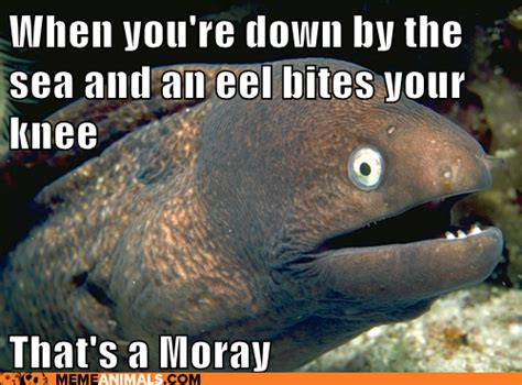 Eel Meme - when down by the sea and an eel bites your knee that s