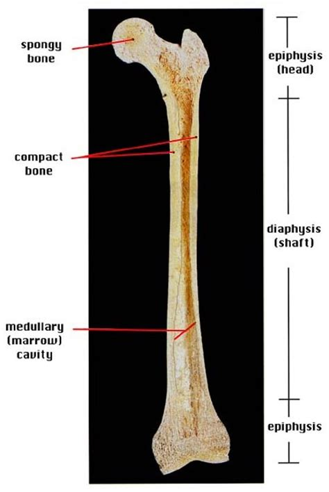 femur bone diagram four things about a simple approach to anatomy and