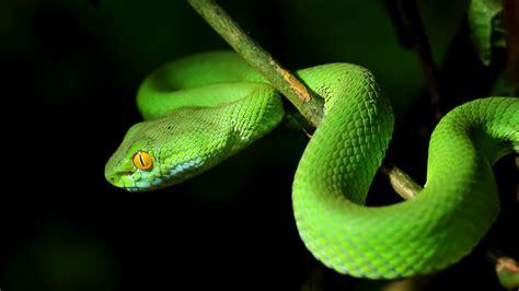 tiny dna tweaks  snakes legless science aaas