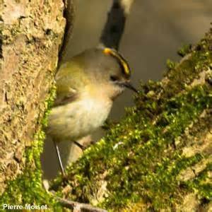 identifier les oiseaux du jardin en hiver ornithomedia
