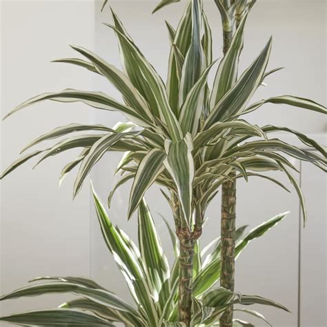dracaena fragrans dracaena fragrans plants patch