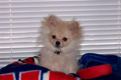 pomeranian puppy uglies pomeranian pom puppy puppy uglies pomeranians