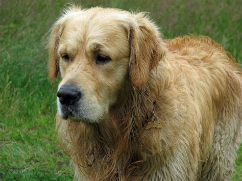 where to find a golden retriever puppy golden retriever free stock photo domain pictures