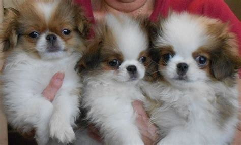 japanese chin puppies for sale near me 17 best images about japanese chin dogs on pop prints and the