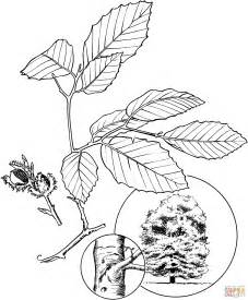 north american beech coloring page free printable