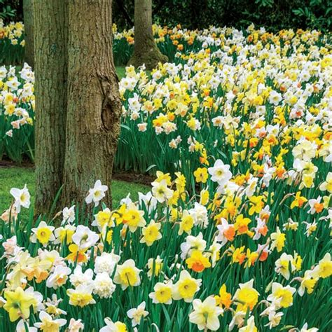 deer resistant blooms daffodils for shade mix