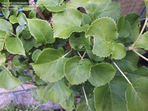 japanese climbing plants plantfiles pictures japanese climbing hydrangea