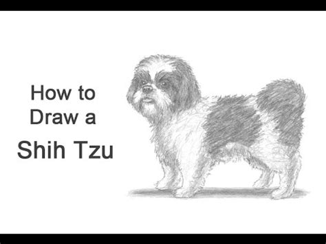 how to a shih tzu to outside how to draw a shih tzu