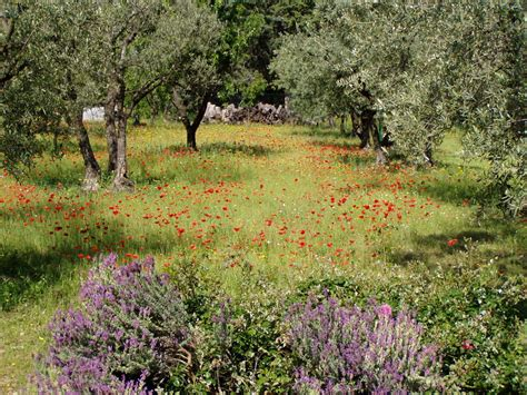 garten provence garten in der provence mit lavendel mohnblumen und