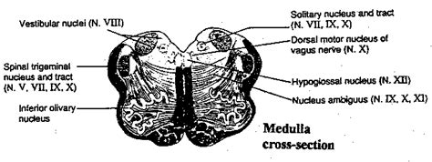 Medulla Cross Section by Brain Areas Supporting Cerebral Cortex Function