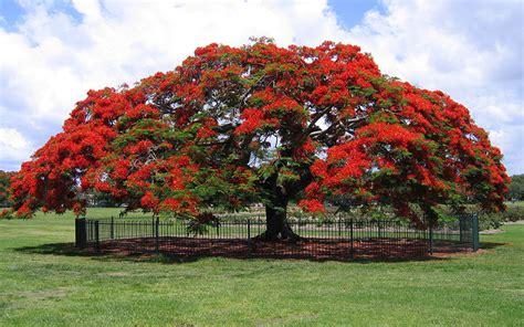 poinsiana tree decorations royal poinciana tree for sale naples