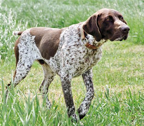 braco alem 225 n de pelo corto razas perros mascotas