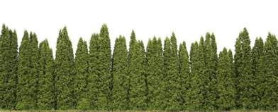 privacy trees these 4 grow the fastest fast growing trees com