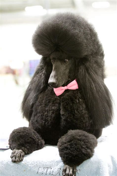 beard clip poodle 121 best images about poodle cuts clips styles on