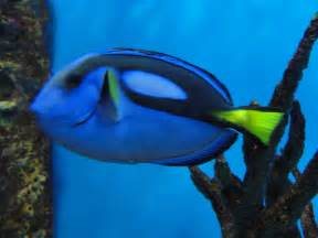 dory fish images amp pictures becuo