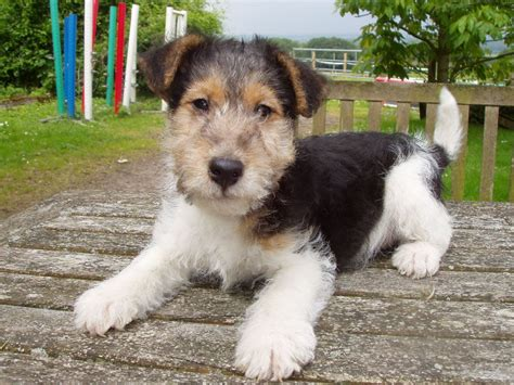 wire fox terrier puppies breeders wire haired fox terrier puppies southton hshire pets4homes