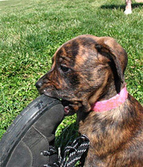 how to stop puppy from chewing everything how to stop your from chewing everything diy grooming