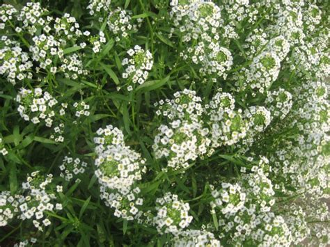 shrub with small white flowers in floral shrubs with white flowers natures carpet