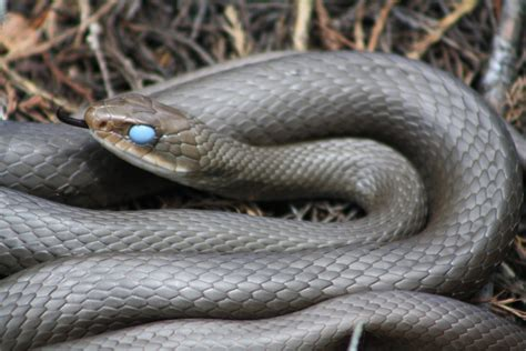 black racer panther island adventures critter of the week black