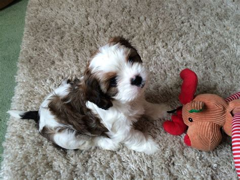 shih tzu cross spaniel king charles spaniel cross shih tzu northallerton pets4homes
