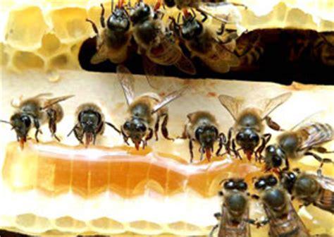 Madu Propolis Bina Apiari lebah madu peternakan lebah madu bina apiari indonesia
