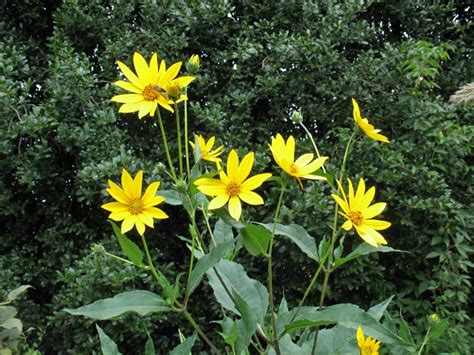 late blooming perennials summer blooming perennials hgtv