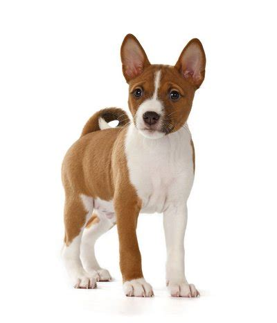 best breeds for 25 best breeds for small apartments top tips