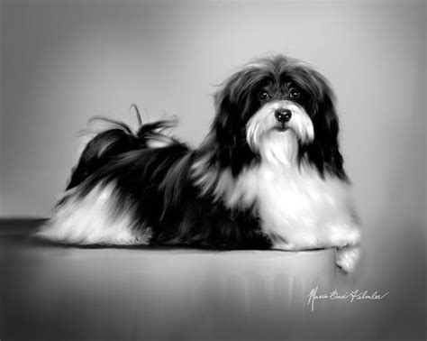 havanese breed standard 36 best images about havanese puppies on teddy dogs sheds and