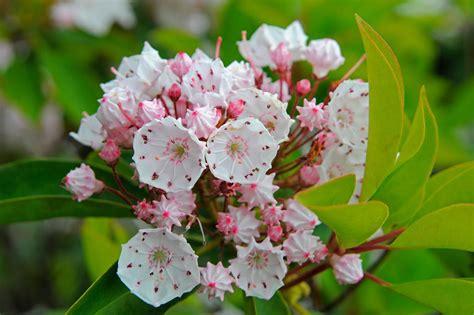 kalmia latifolia kalmia latifolia gardenersworld com