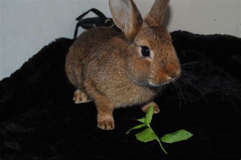 brown breeds brown and white rabbit breed www imgkid the image kid has it