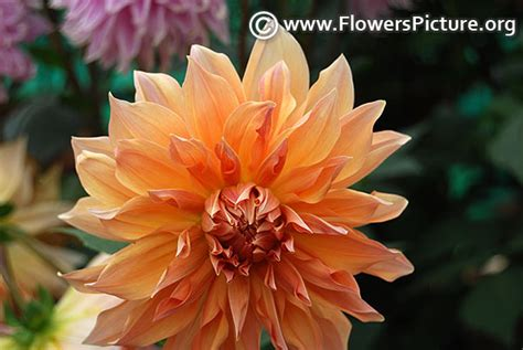 Dahlia In Brown color flowers
