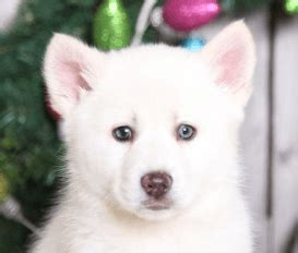cheap pomsky puppies for sale find beautiful pomsky puppies for sale at puppies today