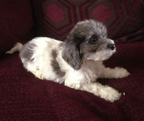 uk only pets for sale dogs for sale free puppies springerpoo sproodle puppy for sale oswestry