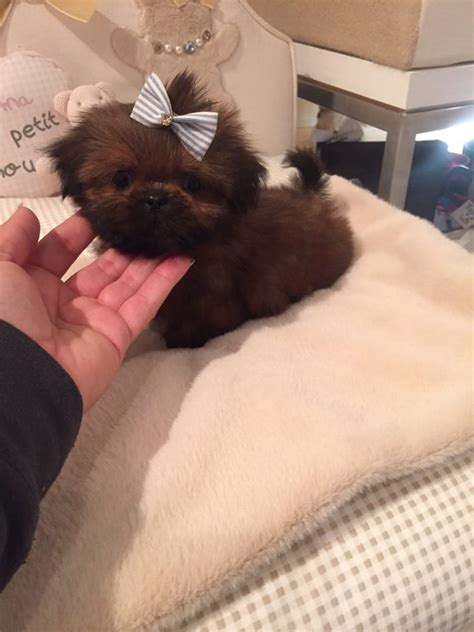 woof woof puppies boutique imperial shih tzu puppy at woof woof puppies yelp