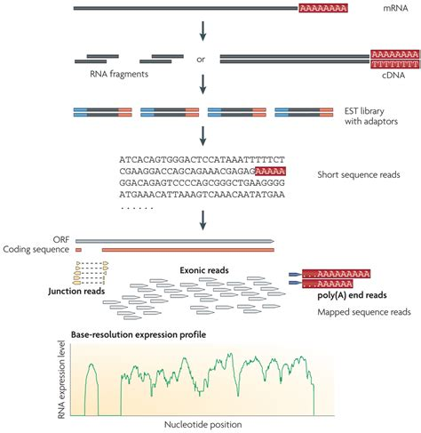 illumina rna seq transcript quantification with rna seq