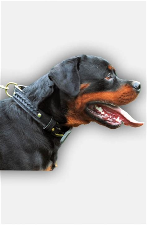 rottweiler fur buy braided leather rottweiler collar with fur protection plate