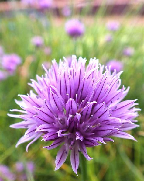 for flowers edible flowers chive flower vinegar