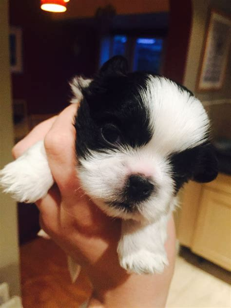kc registered shih tzu puppies for sale kennel club registered shih tzu puppies for sale brighouse west pets4homes