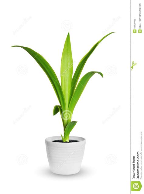 small potted plant isolated on white stock photo image houseplant yang sprout of yucca a potted plant isolated