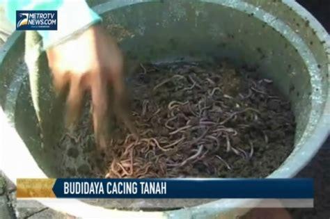 Cacing Jambi budidaya news newhairstylesformen2014