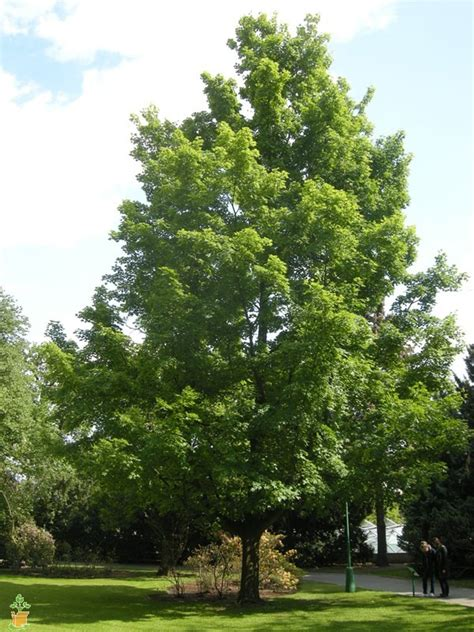i plant a maple tree buy silver maple trees the planting tree