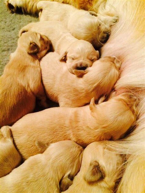 golden retriever puppies suffolk homebred golden retriever puppies bury st edmunds suffolk pets4homes