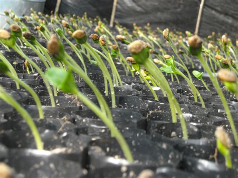 Bibit Gambas lmga agro grosir belanja produk pertanian benih