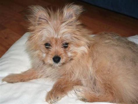 teacup pomeranian yorkie mix 7 best yorkiepom images on yorkie doggies and terriers