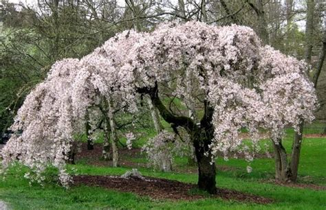 weeping cherry tree 6 foot where i am now a walk in the park