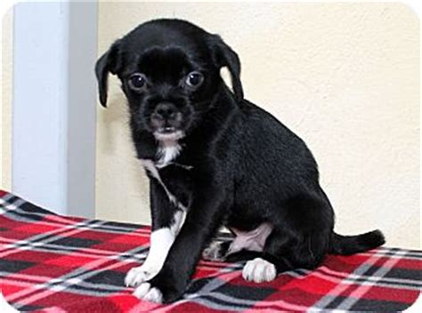 border collie pug los angeles ca pug border collie mix meet cheech a puppy for adoption