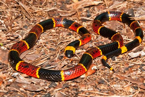 coral snake colors poisonous snakes of the everglades captain mitch s