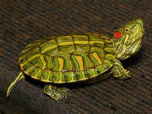 rio grande red eared sliders for sale from the turtle source